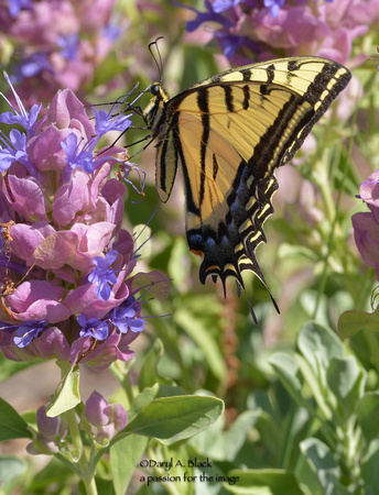 swallowtail on Salvia pachyphylla 3