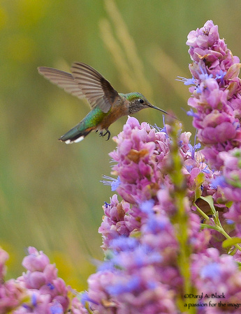 hummingbird and purple sage 3