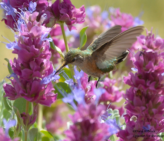 hummingbird and purple sage 4