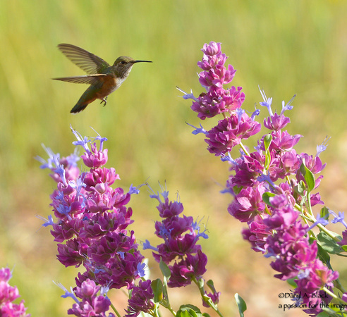 hummingbird and purple sage 7