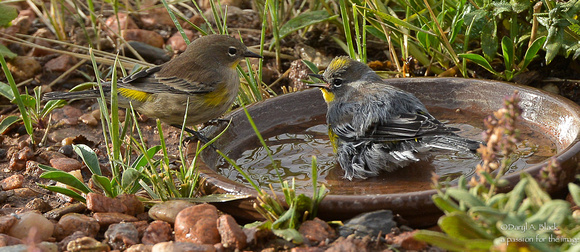 Yellow rumped warblers in bird bath (1st year and mature)