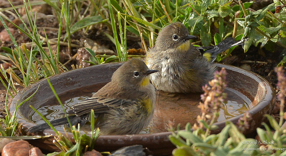 Yellow rumped warblers in bird bath (1st year)