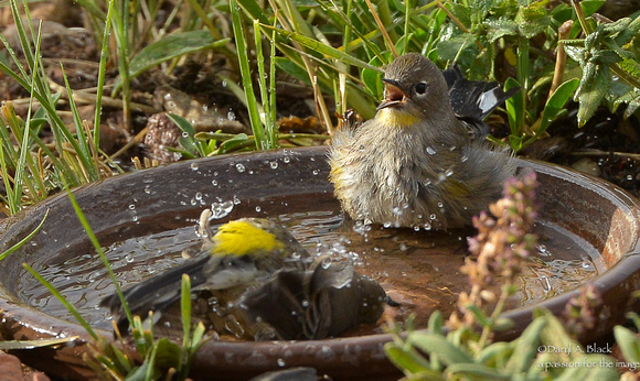 Yellow rumped warblers in bird bath (1st year and mature # 2)