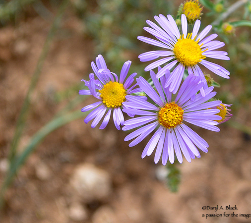 Purple asters 2