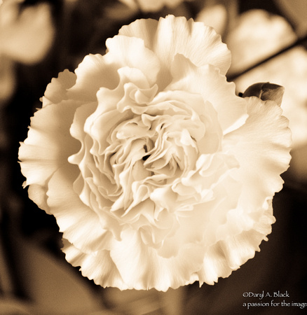 Flowers - carnation (toned)