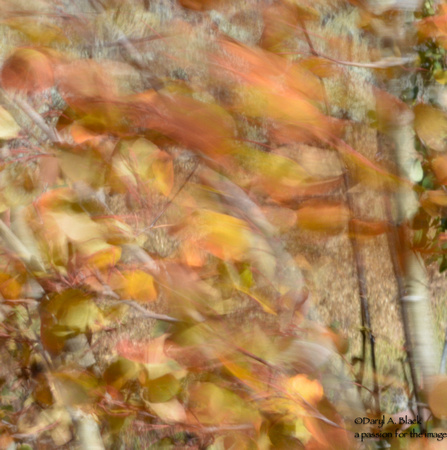 Still life - aspen leaves in wind 2