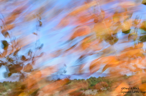Still life - aspen leaves in wind 1