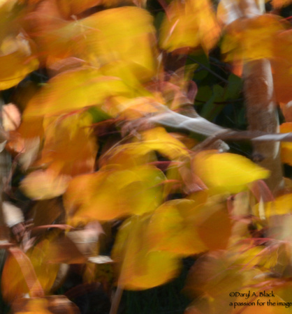 Still life - aspen leaves in wind 3