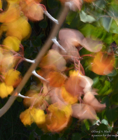 Still life - aspen leaves in wind 4