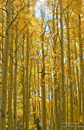 Nature- trees - aspen forest primeval in gold