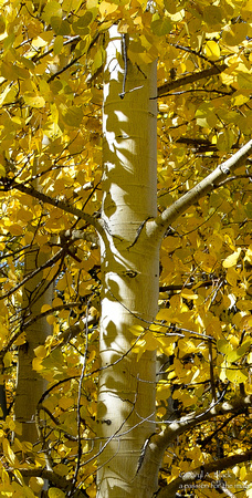 Nature - trres- aspen leaf shadows on trunk