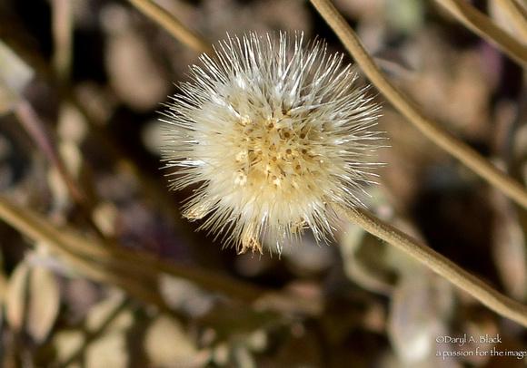 gaillardia seed pod