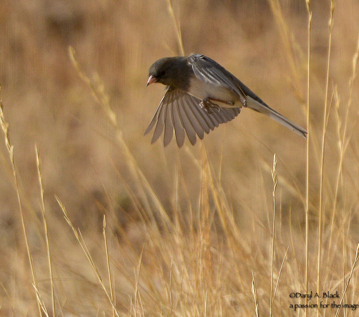 junco (Oregon)