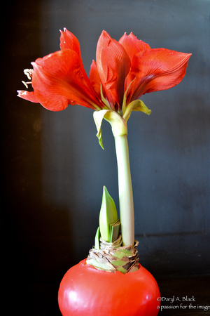 amaryllis in wax 1