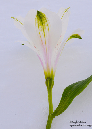 Peruvian lily and snow 4
