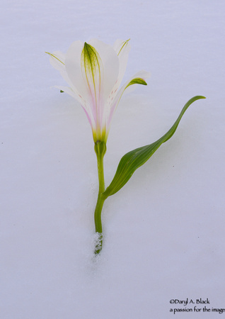 Peruvian lily and snow 5