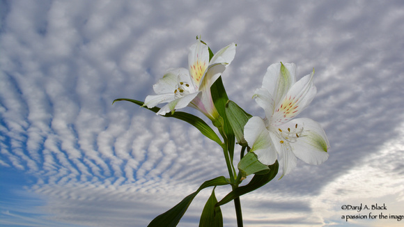 sky waves and Peruvian lilies 1