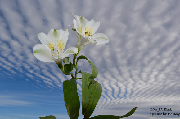 sky waves and Peruvian lilies 2