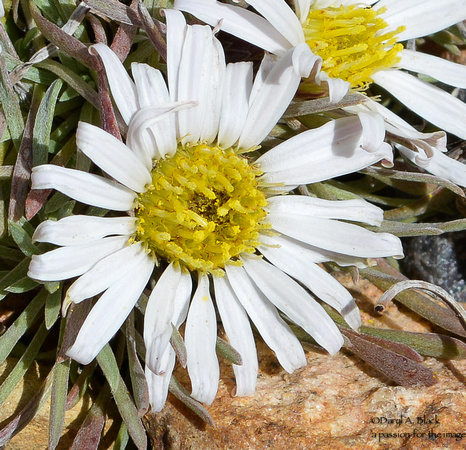 Easter daisies 5 - 2020