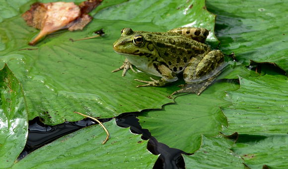 frog on water lilies